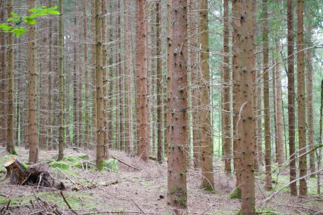 Ger tät skog lägre grundvatten än gles? Ja, det hävdar SMHI. Men forskare inom skog och hydrologi anser att det har liten påverkan.