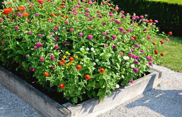 Plantera gärna ut zinnior i en egen pallkrage. Det blir ditt bukettförråd i sommar.