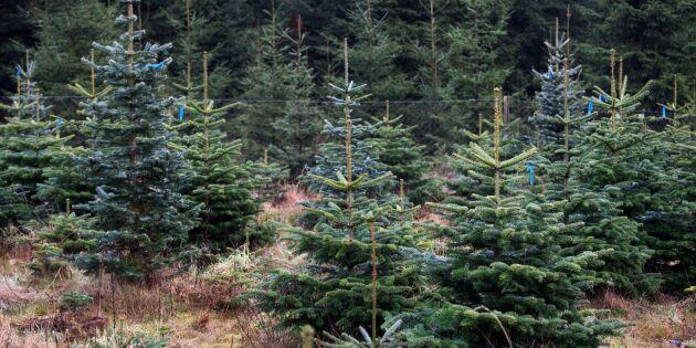 Torkan kan leda till brist på julgranar