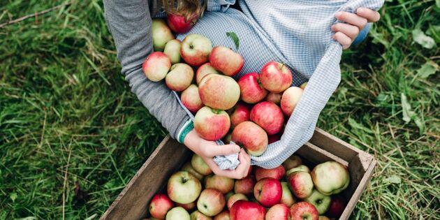 Så tar du hand om fruktskörden på bästa sätt – smarta tips och råd
