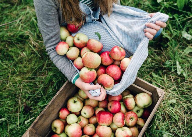 Så tar du hand om fruktskörden på bästa sätt