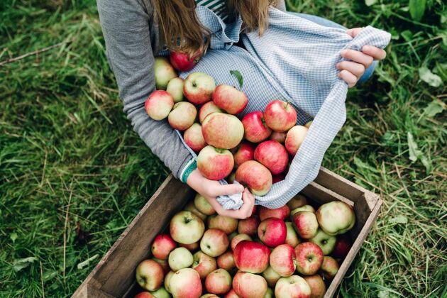 Under ett bra äppelår orkar träden knappt bära alla äpplen.