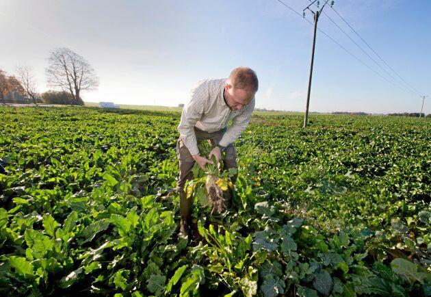 Sockerbetor är ett nytt inslag på Skabernäs och ett första steg att få in fler grödor i den tidigare fyraåriga, spannmålsdominerade växtföljden.