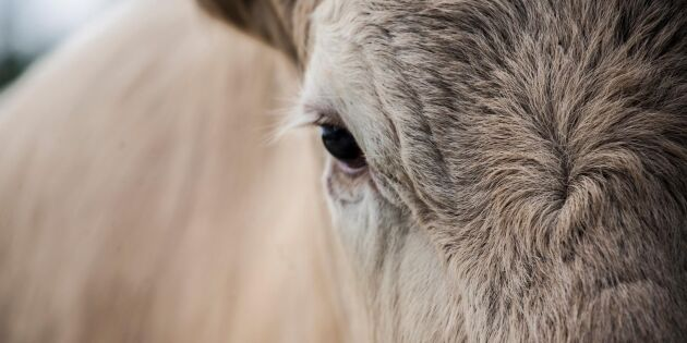 Köttbönder kan kräva djuren tillbaka från Hälsingestintan