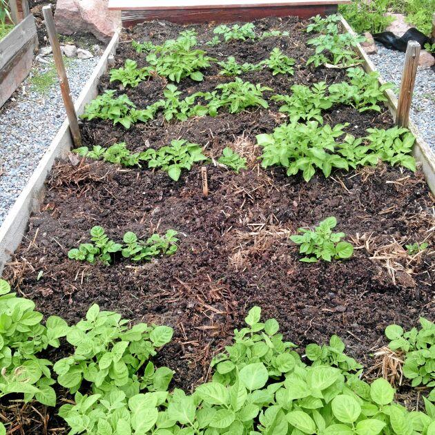 Skifte 4, potatislandet, kräver ytterst lite i näringsväg. Foto: Bella Linde.