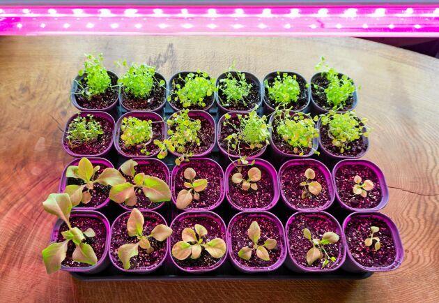 Proffsbelysning med violett ljus. Lite mer träffsäkert än vitt men dyrare.
