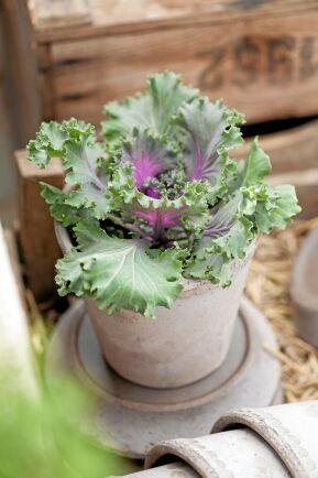 Prydnadskål, Brassica oleracea, går i rödlila, gråvitt och rosa och får allt mer intensiv färg ju kallare det blir. Foto: Blomsterfrämjandet