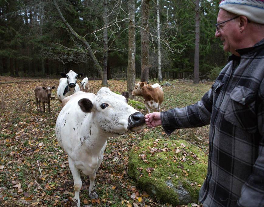 Land.se skriver om den utrotningshotade rasen fjällnära boskap.