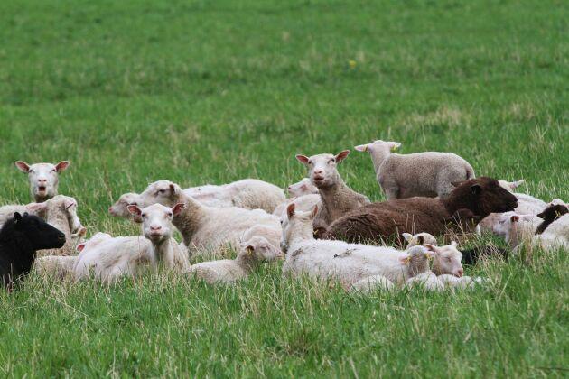 Efterfrågan på svensk ull verkar öka men fortfarande är det svårt att få till logistiken i produktionsledet.