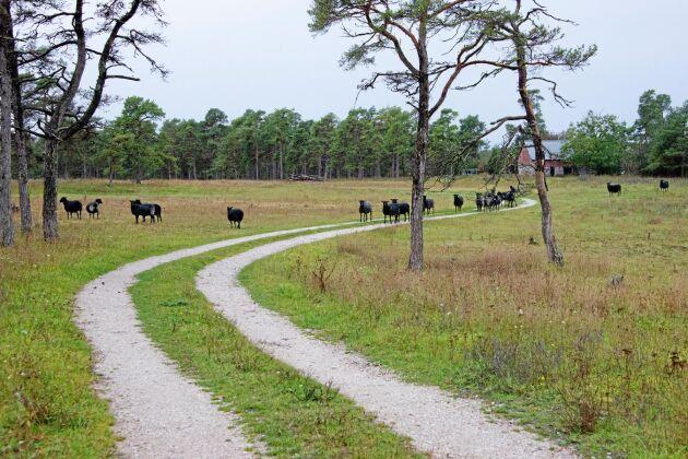 I det pastorala landskapet betar Fårös lamm fritt bakom tun och färistar. Förr slapp de åka transport till Visby. Sedan Bertil Gabrielsson slutat slakta på ön så måste de det.