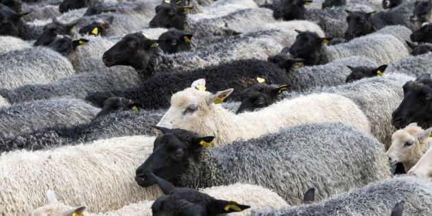 22 000 norska får hålls som gisslan av vargen