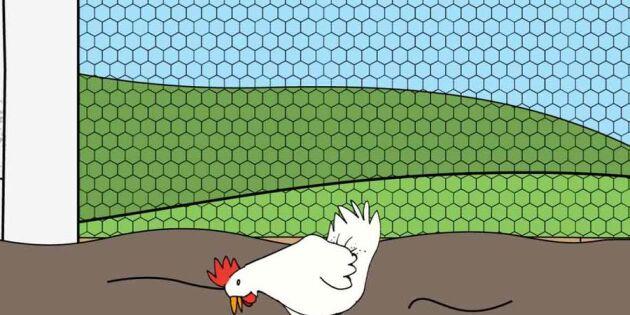 Allt du behöver veta om hönan – på en minut