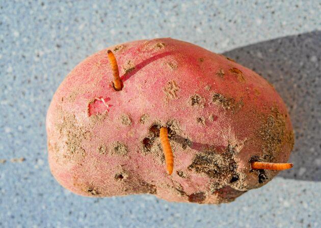 Knäpparlarver gillar potatis lika mycket som du.