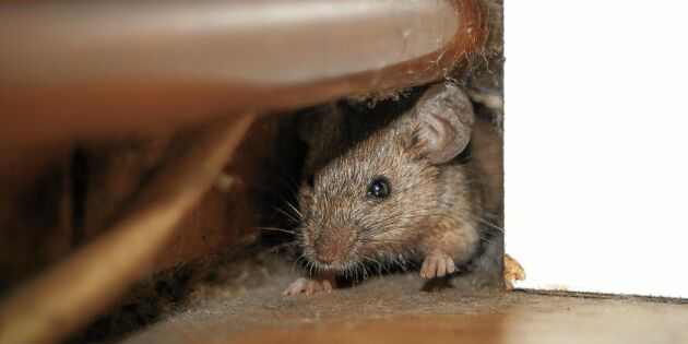 Så blir du av med möss inomhus –utan musfälla