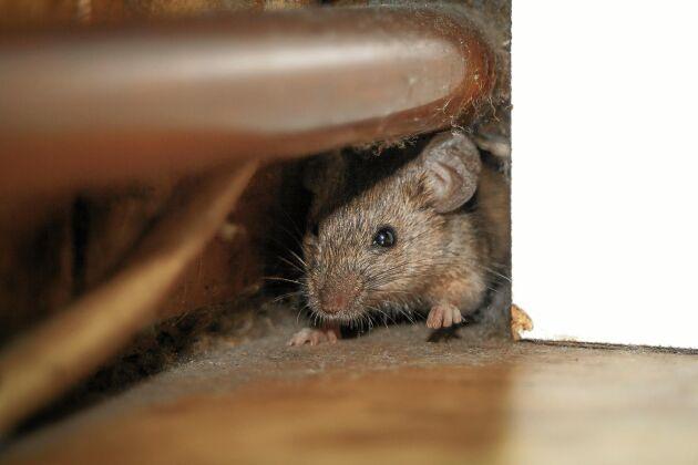 Möss i huset? Fundera på var de kan ha kommit in. Här har vi samlat de bästa tipsen för att bli av med möss inomhus.
