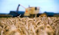 Skördeprognosen på vete skrivs ned