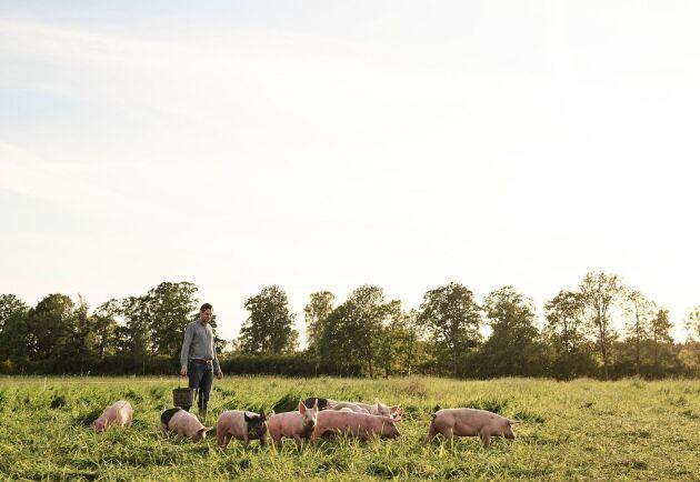 Anders Gunnarsson bland grisarna på Halla Gård.