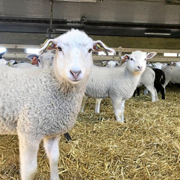 Nya lamm i stallen på före detta Tangará Farm i Hörby.