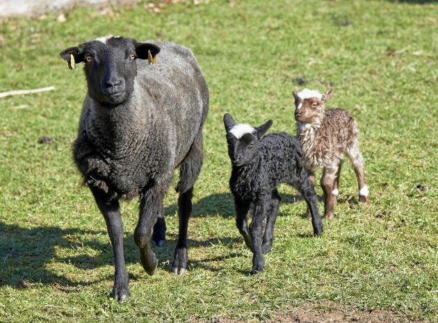 En av tackorna med sina två fina lamm - de är av lantrasen Värmlandsfår.