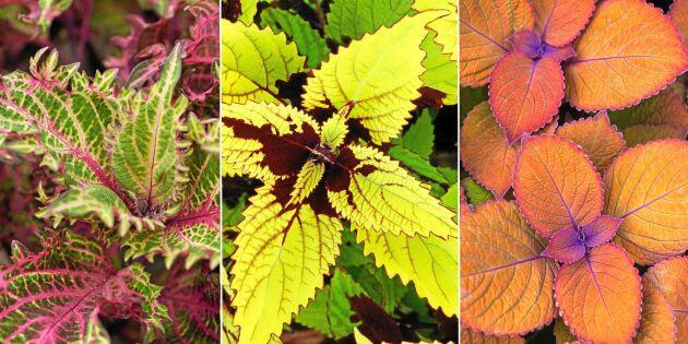 Palettblad - krukväxten som aldrig blir tråkig