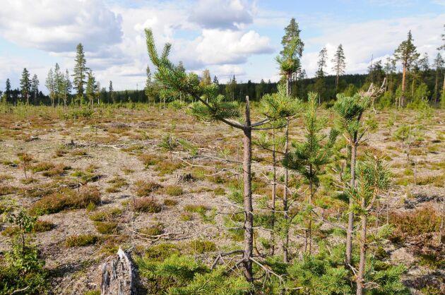 Skogsstyrelsens beräkningar visar att hjortdjurens bete orsakar ett årligt produktionsbortfall som motsvarar 6,4 miljoner kubikmeter skog.