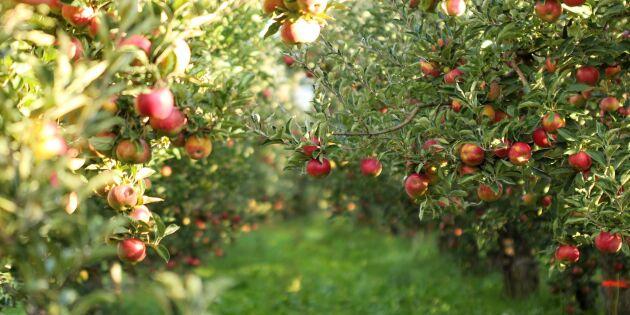 Lösningen när skörden tryter: Äpplen med skönhetsfläckar!