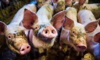 Döda grisar hissades upp i flaggstänger i Kristianstad