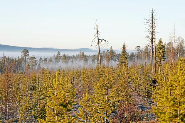 Kalhygge med plantage i fjällnära skog.