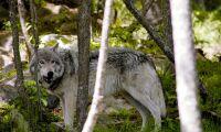 Tjuvjakt av varg hotar mångfalden