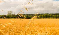 Grönt ljus för gyllene ris
