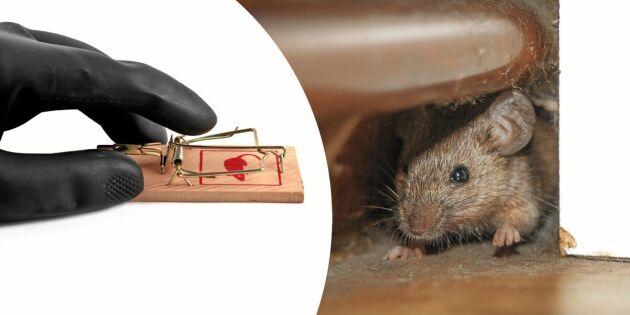 Steg för steg: Så laddar du musfällan rätt
