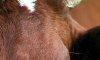 Förlamad ko lämnades åt vilda djur