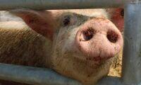 Ny sjukdom upptäckt hos gris
