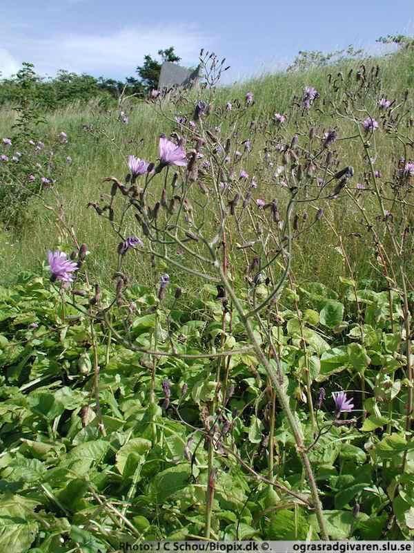 Höga stänglar med lila blommor över en matta med stora blad. Foto: Ogräsrådgivaren SLU.