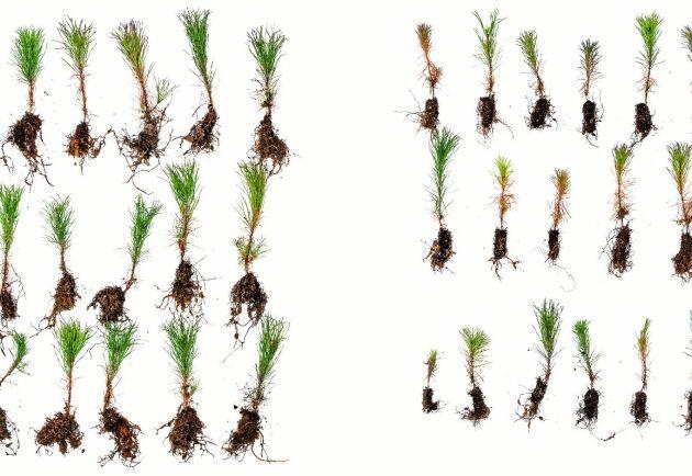 Efter en växtsäsong i Hälsingland syns tydlig skillnad på de plantor som fått växtnäringen Argrow (vänster) och de som inte fått det.