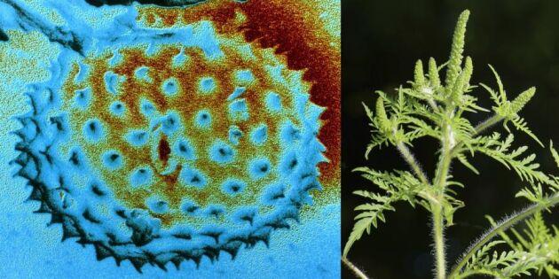 Ny skräckväxt hotar i Sverige – allergiker varnas!