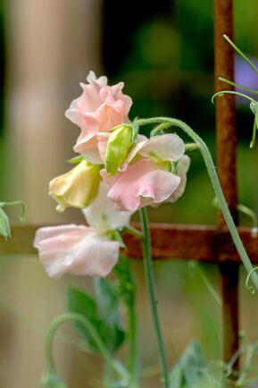 'Heaven Scent' har aprikosfärgade blommor med varmrosa kanter.
