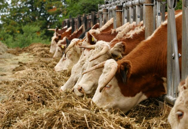 Den svenska nötköttsproduktionen väntas minska igen efter torkan 2018.