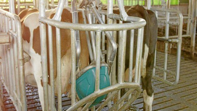 Toaletten placeras bakom kon medan hon står vid sitt fodertråg. När djuret har slutat äta stimulerar en robotarm en nerv nära juvren. Reflexen gör att kon börjar kissa.
