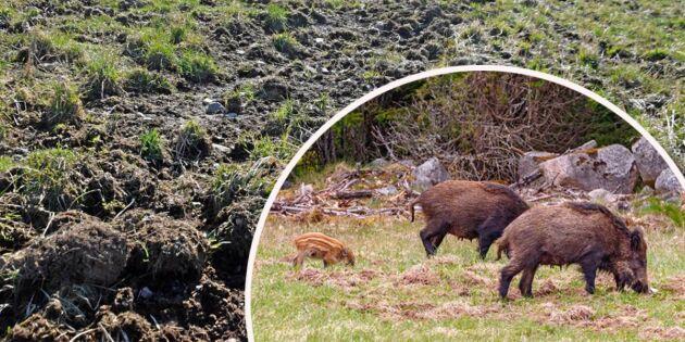 Så fick Sverige en okontrollerad vildsvinsstam