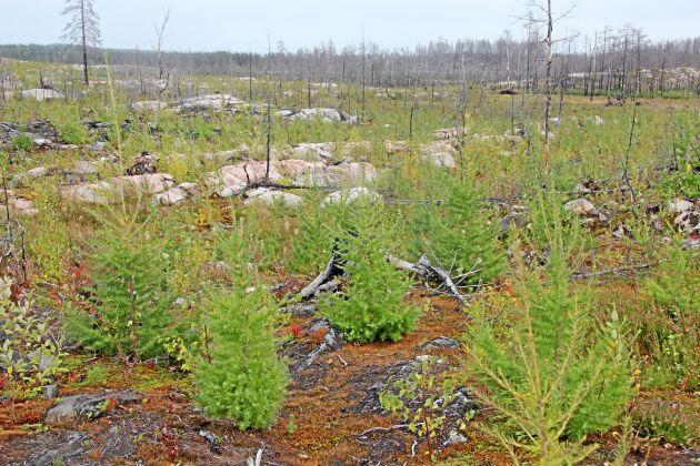 Oskar Axfedt satte cirka 25 000 plantor efter branden 2014, främst sibirisk lärk. Resultatet är i stora drag lyckat. En mindre andel dog dock, dels till följd av rotmurklan, dels eftersom de sattes för sent i juni då det hunnit bli torrt i marken.