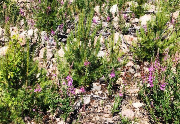 Så länge rallarrosen är i blomstadiet är den attraktivare än tallplantorna, menar Lennart Westerdahl. Men sedan minskar näringsinnehållet i dessa och älgarna byter diet igen.