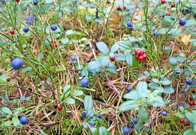 Det blir dåligt med blåbär i år eftersom nattfrosten tog många blommor.