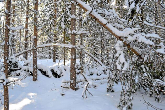 Skogsstyrelen uppmanar skogsägare att inventera skogen.