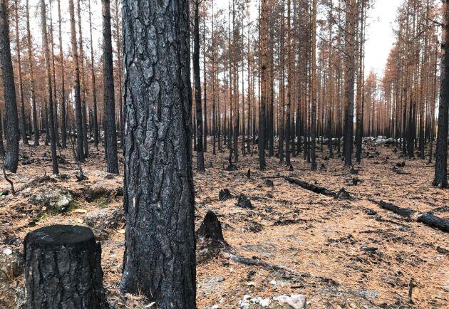 I Södra Norrland är det främst den branddrabbade skogen som anmäls för avverkning.