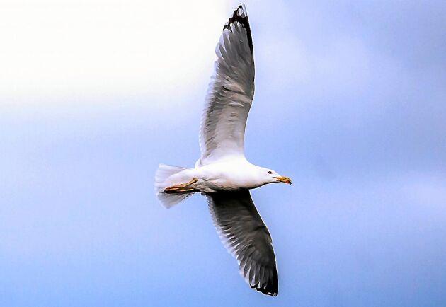 Många fåglar sparar energi genom att segelflyga när vindarna bär. Här en gråtrut som liksom andra måsfåglar är både skickliga flygare och hyfsade simmare.