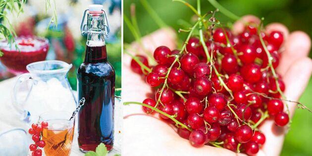 Rödvinbärssaft – lättlagad och fantastiskt god