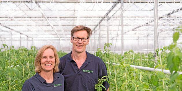 Svenska tomater lockade nederländska odlare