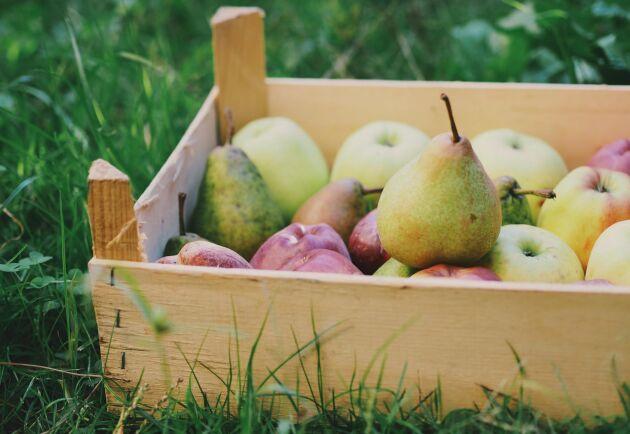 Det går utmärkt att pressa både äpplen och päron.