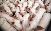 Slaktkö drabbar grisproducenter